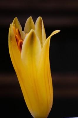Aloeblüte