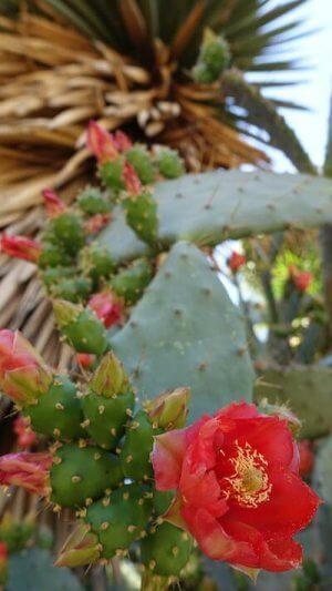 Opunita-Kaktus: Das Öl aus den Fruchtsamen enthält wertvolle essenzielle Fettsäuren und ist in allen Le Pure-Produkten enthalten (Bild: Le Pure).