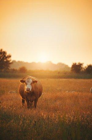 Schön wär's: Weidehaltung ist bei Milchkühen nicht die Regel (Bild: Shutterstock).